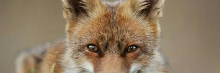 matanza de zorros en Dozón