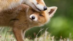 La matanza de zorros en Dozón