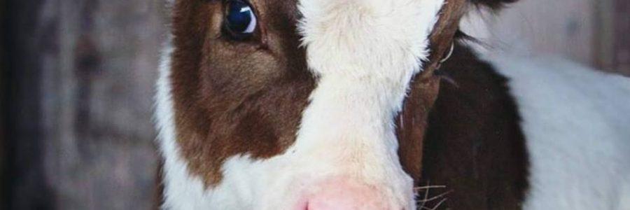 cada vida animal importa. hazte vegano